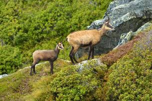 Chamois (Rupicapra rupicapra), mother with young, Berneseの写真素材 [FYI02343992]