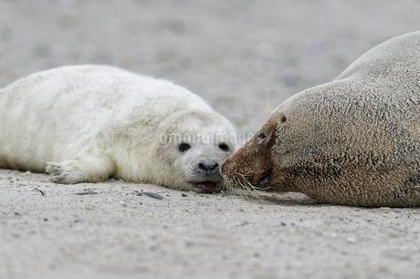 Grey seals (Halichoerus grypus), baby with dam at theの写真素材 [FYI02344008]