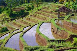 The famous rice terraces of Jatiluwih, Bali, Indonesia, Asiaの写真素材 [FYI02344009]