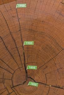 Cross section of bicentennial oak (Quercus sp.) trunk withの写真素材 [FYI02344011]
