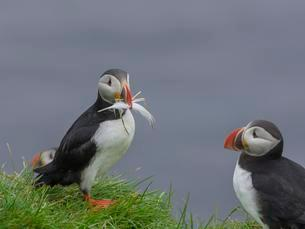 Puffins (Fratercula arctica) with feather in beak, nestingの写真素材 [FYI02344018]
