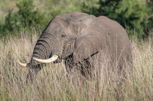 African Bush Elephant (Loxodonta africana), Queen Elizabethの写真素材 [FYI02344055]
