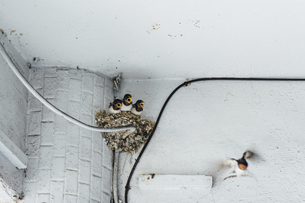 Nestling birds in the nest on the white wallの写真素材 [FYI02344136]