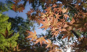 Close up of the red Maple leaveの写真素材 [FYI02344178]