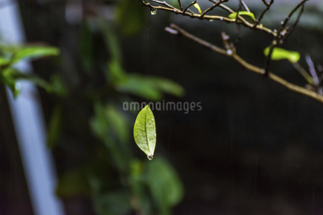 Leaf on the Spider Webの写真素材 [FYI02344267]