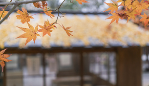 Close up of the Maple leave in Kawai Shrine Kyodo Japanの写真素材 [FYI02344342]