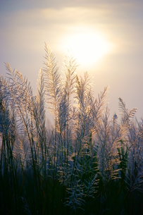 Silver grass in the Hsinchu agaist the sunsetの写真素材 [FYI02344359]