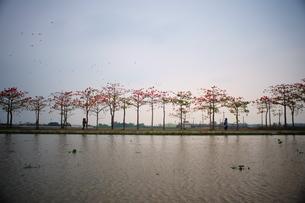 a row of kopok flower beside the riverの写真素材 [FYI02344450]