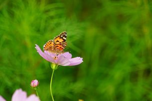 Butterfly on the flowerの写真素材 [FYI02344524]
