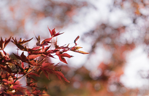 Close up of the red Maple leaveの写真素材 [FYI02344713]