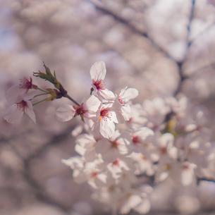 close up shot of Sakuraの写真素材 [FYI02344785]