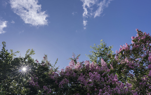 Giant crepe-myrtle against the skyの写真素材 [FYI02344824]