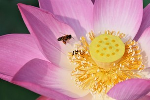 bees on Lotusの写真素材 [FYI02344839]