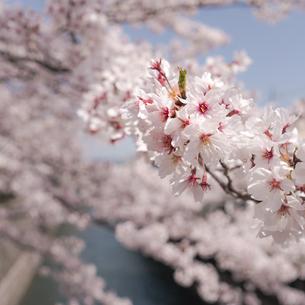 close up shot of Sakuraの写真素材 [FYI02344886]