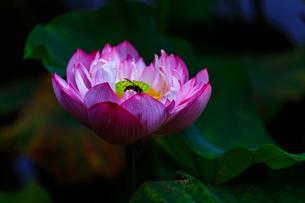 Lotusの写真素材 [FYI02344910]