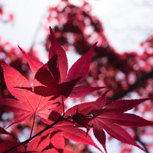 Maple tree;Kyotoの写真素材 [FYI02344915]