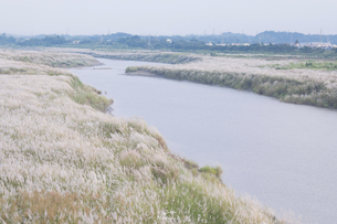 The Field of Silver Grass by the riverの写真素材 [FYI02345004]