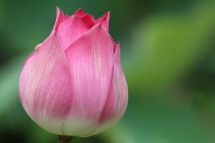 close-up shot for Lotusの写真素材 [FYI02345075]