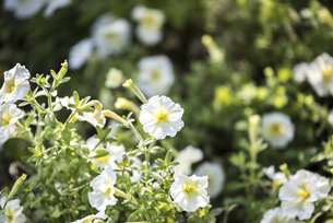 White Common Petuniaの写真素材 [FYI02345221]