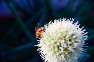 the bee gather honeyの写真素材 [FYI02345285]