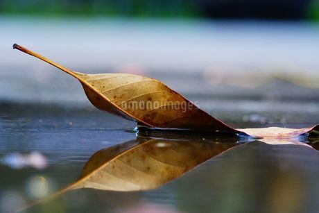 leaf floating on the waterの写真素材 [FYI02345294]