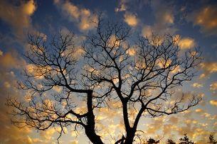 Silhouette of oakの写真素材 [FYI02345311]