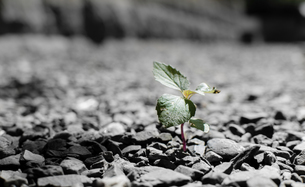 sprout on the rockの写真素材 [FYI02345611]