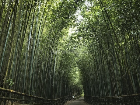 mysterious bamboo forest tunnelの写真素材 [FYI02345613]