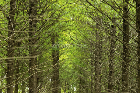 Deciduous Cypress forestの写真素材 [FYI02345658]