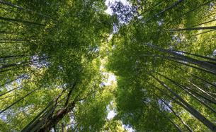 bamboo forest at the Arashiyamaの写真素材 [FYI02346055]