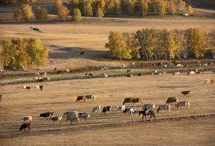 Cattle on the prairie;Inner Mongoliaの写真素材 [FYI02346801]