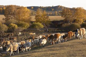 Cattle on the prairie;Inner Mongoliaの写真素材 [FYI02346843]