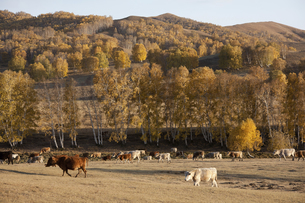 Cattle on the prairie;Inner Mongoliaの写真素材 [FYI02346887]