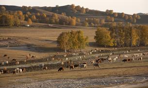 Cattle on the prairie;Inner Mongoliaの写真素材 [FYI02347070]