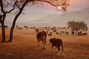 dairy cowの写真素材 [FYI02347222]