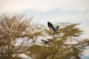 Egyptian Geese Fly Above Lake Naivashaの写真素材 [FYI02347576]