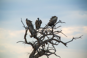 Vulture stay on the top of the dried tree; in Amboseli National Park; Kenya; Africaの写真素材 [FYI02347695]