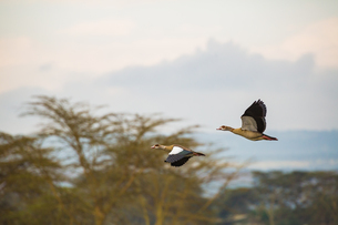 Egyptian Geese Fly Above Lake Naivashaの写真素材 [FYI02347704]