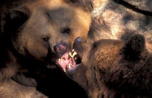 European Brown Bearの写真素材 [FYI02347739]