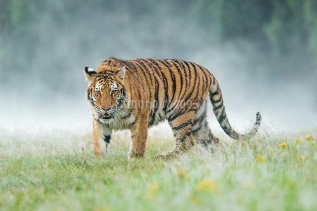 Tigerの写真素材 [FYI02347798]