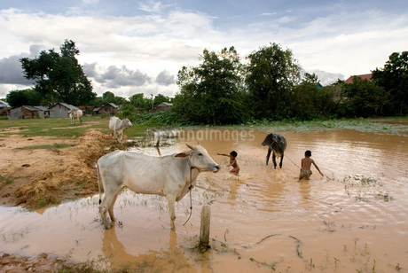 """Nude children taking a bath with the cows near the monument of """"Killing Fields of Choeung Ek."""" Phnomの写真素材 [FYI02347802]"""