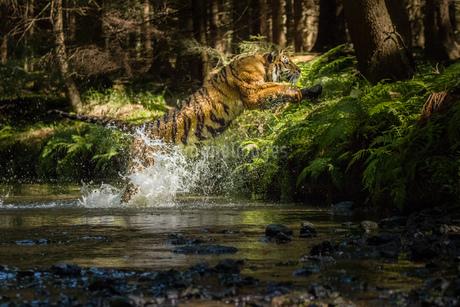 Tigerの写真素材 [FYI02347813]