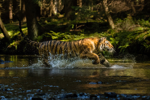 Tigerの写真素材 [FYI02347820]