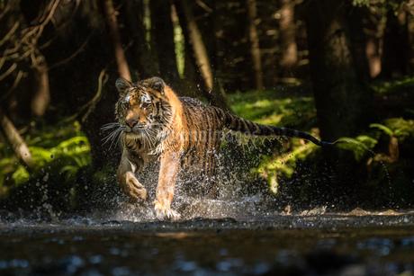Tigerの写真素材 [FYI02347862]
