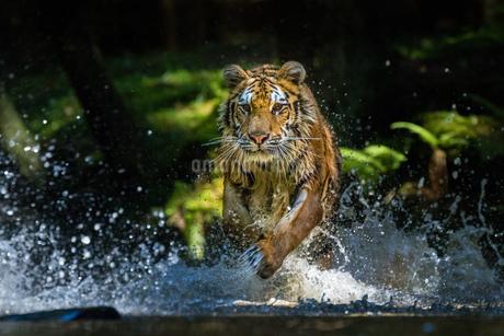 Tigerの写真素材 [FYI02347867]