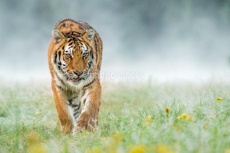 Tigerの写真素材 [FYI02347892]