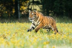 Tigerの写真素材 [FYI02347908]