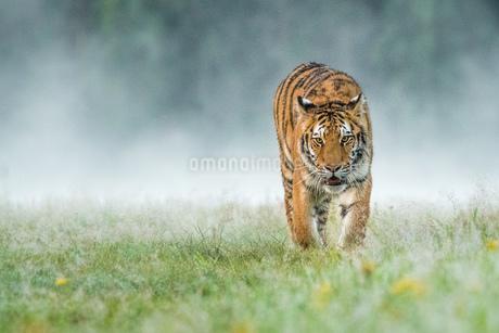 Tigerの写真素材 [FYI02347944]