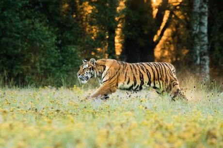 Tigerの写真素材 [FYI02347976]