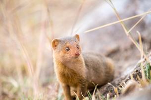 Common Dwarf Mongooseの写真素材 [FYI02348012]